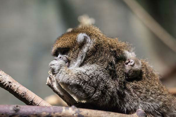 "<div class=""meta ""><span class=""caption-text "">The baby's siblings are helping to care for the newest addition, and the family is often seen sitting close together, intertwining their tails at the Helen C. Brach Primate House. (Photo/Christopher Bijalba, Lincoln Park Zoo)</span></div>"