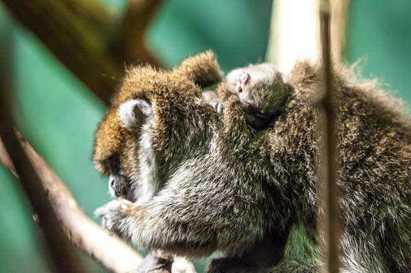 The wild Bolivian gray titi monkeys population is declining in its native South America due to habitat loss and illegal pet trade, according to Lincoln Park Zoo. This new baby, the parents and siblings are part of a breeding program to protect the species. <span class=meta>(Photo&#47;Christopher Bijalba, Lincoln Park Zoo)</span>
