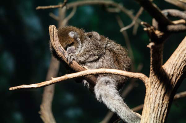 She or he may be teeny tiny, but the birth of a titi monkey at the Lincoln Park Zoo is very big deal. <span class=meta>(Photo&#47;Christopher Bijalba, Lincoln Park Zoo)</span>
