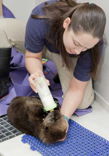 In this photo taken Jan. 5, 2012 and provided by the Shedd Aquarium in Chicago, trainer Lana Vanagasem feeds Cayucos, then 10-weeks old, at the aquarium. Vanagasem helps provide round-the-clock care for the female pup that was found stranded near Cayucos, Calif.  <span class=meta>(AP Photo&#47;Shedd Aquarium, Brenna Hernandez)</span>