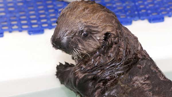 In this photo taken Jan. 5, 2012 and provided by the Shedd Aquarium in Chicago, a 10-week-old southern sea otter pup is seen at the aquarium. The female otter weighs 15 pounds and was found stranded near Cayucos, Calif., in December. She is staying at the Shedd&#39;s Regenstein Sea Otter Nursery, where she is receiving 24-hour care. Shedd animal caretakers have named her Cayucos, after the beach where she was found.  <span class=meta>(AP Photo&#47;Shedd Aquarium, Brenna Hernandez)</span>