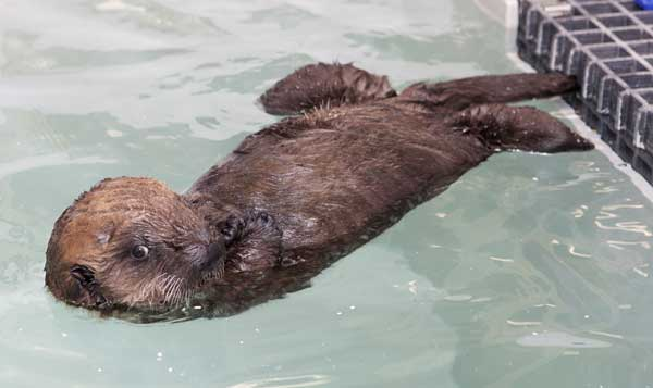 n this photo taken Jan. 5, 2012 and provided by the Shedd Aquarium in Chicago, a 10-week-old southern sea otter pup is seen at the aquarium. The female otter weighs 15 pounds and was found stranded near Cayucos, Calif., in December. She is staying at the Shedd&#39;s Regenstein Sea Otter Nursery, where she is receiving 24-hour care. Shedd animal caretakers have named her Cayucos, after the beach where she was found. <span class=meta>( AP Photo&#47;Shedd Aquarium, Brenna Hernandez)</span>