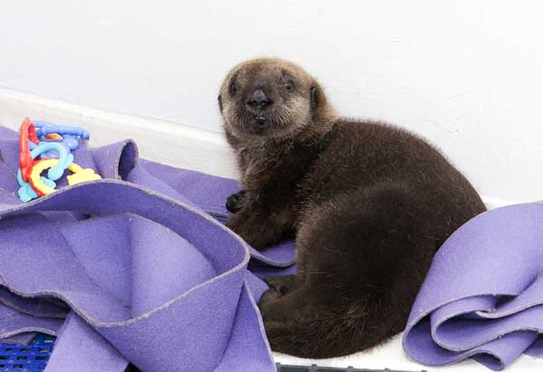 n this photo taken Jan. 5, 2012 and provided by the Shedd Aquarium in Chicago, a 10-week-old southern sea otter pup is seen at the aquarium. The female otter weighs 15 pounds and was found stranded near Cayucos, Calif., in December. She is staying at the Shedd&#39;s Regenstein Sea Otter Nursery, where she is receiving 24-hour care. Shedd animal caretakers have named her Cayucos, after the beach where she was found.  <span class=meta>(AP Photo&#47;Shedd Aquarium, Brenna Hernandez)</span>