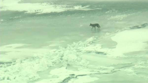 Beautiful pictures of Chicago&#39;s frozen Lake Michigan and a couple of coyotes that were out and about on Tuesday morning. <span class=meta>(WLS Photo)</span>
