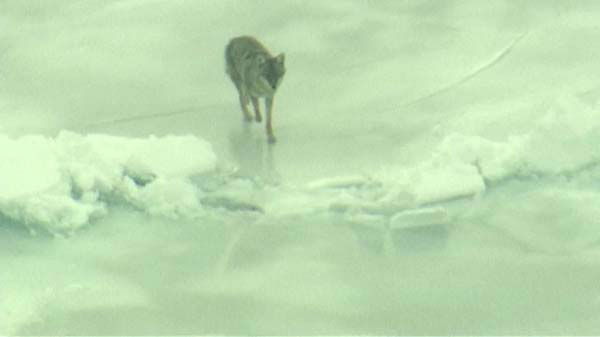 A beautiful, frozen Lake Michigan became the stomping grounds for two Chicago coyotes on Tuesday morning.  <span class=meta>(WLS Photo)</span>