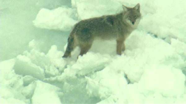 Chopper 7HD flew over frozen Lake Michigan and was able to zoom in on the coyotes. <span class=meta>(WLS Photo)</span>