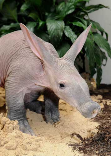 "<div class=""meta image-caption""><div class=""origin-logo origin-image ""><span></span></div><span class=""caption-text"">A baby aardvark at Brookfield Zoo. (Jim Schulz/Chicago Zoological Society)</span></div>"