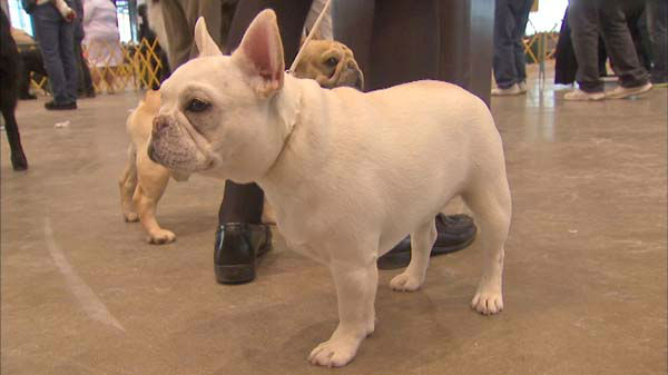 "<div class=""meta image-caption""><div class=""origin-logo origin-image ""><span></span></div><span class=""caption-text"">The International Kennel Club Dog Show 2014 runs this weekend at McCormick Place in Chicago. (WLS Photo)</span></div>"