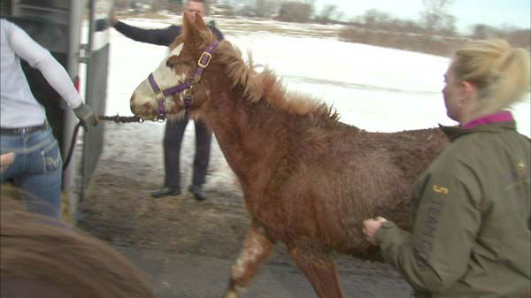 About 100 volunteers are helping Kane County Animal Control workers move horses, alpacas, goats and llamas from a Hampshire area farm.  <span class=meta>(WLS Photo)</span>