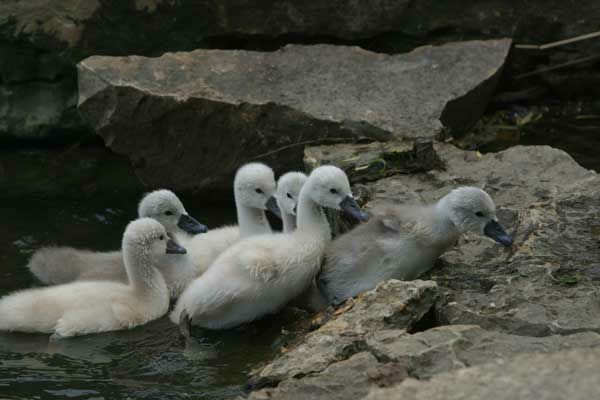 "<div class=""meta image-caption""><div class=""origin-logo origin-image ""><span></span></div><span class=""caption-text"">When they are hatched, baby swans, called cygnets, weigh about 7 1 /2 ounces. They learn to swim in the first week of their lives. (WLS Photo/ Village of Schaumburg)</span></div>"