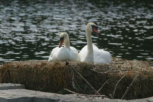 Louis and Serena have been at the Robert Atcher Municipal Center Grounds   since 1994 and have had several hatchlings around Memorial Day.   <span class=meta>(WLS Photo&#47; Village of Schaumburg)</span>