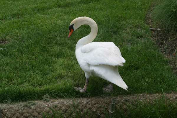 A sign of spring in Schaumburg! The village&#39;s Mated Mute Swans -- Louis and Serena -- are back home in a pond located on city property. <span class=meta>(WLS Photo&#47; Village of Schaumburg)</span>