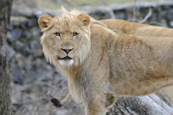 "<div class=""meta ""><span class=""caption-text "">Lincoln Park Zoo welcomes a new lion, Sahar, who is currently on quarantine. He will join Myra, whose longtime companion Adelor died last month, at the Kovler Lion House. (Julie Larsen Maher/ WCS)</span></div>"