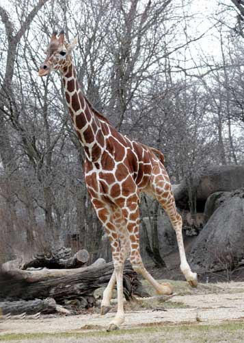 Arnieta, a 4-year-old female giraffe at Brookfield Zoo, stretches her legs as she is given access to an outdoor habitat for the first time this season. <span class=meta>(Jim Schulz&#47;Chicago Zoological Society)</span>