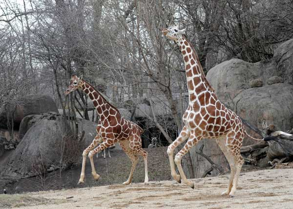 Arnieta &#40;left&#41;, 4, and Jasari, 6, two female giraffes at Brookfield Zoo, enjoy the spring weather for the first time this season. <span class=meta>(Jim Schulz&#47;Chicago Zoological Society)</span>