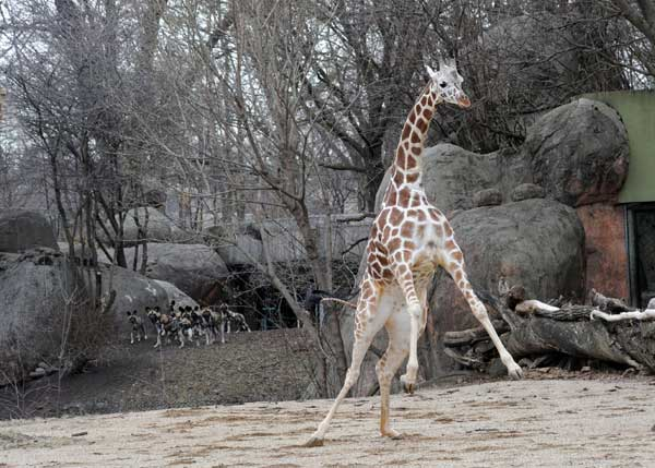 Jasari, a 6-year-old female giraffe at Brookfield Zoo, stretches her legs in her outdoor habitat. The zoo&#39;s giraffe herd was given access to its outdoor habitat for the first time this season. In the background are the zoo&#39;s African wild dog puppies curiously watching the giraffes. <span class=meta>(Jim Schulz&#47;Chicago Zoological Society)</span>
