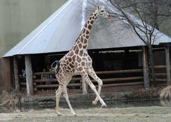 Jasari, a 6-year-old female giraffe at Brookfield Zoo, stretches her neck and legs. The zoo&#39;s giraffes were given access to their outdoor habitat for the first time this season. The annual event is always exciting to witness as the giraffes gracefully run around stretching their legs and necks <span class=meta>(Jim Schulz&#47;Chicago Zoological Society)</span>