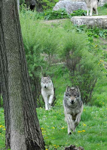 "<div class=""meta ""><span class=""caption-text "">Mexican gray wolves at Brookfield Zoo are part of a study to help save the endangered species. Researchers hope to determine if a type of nasal tumor is more prevalent in wolves or domestic dogs. (Jim Schulz/Chicago Zoological Society)</span></div>"