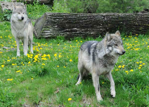 Mexican gray wolves can be seen at Brookfield Zoo&#39;s Great Bear Wilderness exhibit. <span class=meta>(Jim Schulz&#47;Chicago Zoological Society)</span>