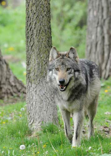 Until 1998, when reintroduction efforts began, Mexican gray wolves were considered extinct in the wild. &#40;There once were approximately 4,000 wolves in their historic range.&#41; In May 1976, the species was listed on the Endangered Species List by the U.S. Fish &amp; Wildlife Service &#40;USFWS&#41;. <span class=meta>(Jim Schulz&#47;Chicago Zoological Society)</span>