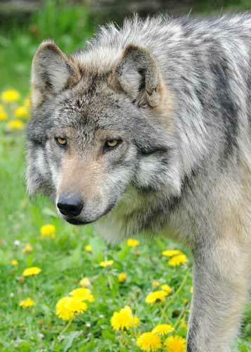 "<div class=""meta ""><span class=""caption-text "">Until 1998, when reintroduction efforts began, Mexican gray wolves were considered extinct in the wild. (There once were approximately 4,000 wolves in their historic range.) In May 1976, the species was listed on the Endangered Species List by the U.S. Fish & Wildlife Service (USFWS). (Jim Schulz/Chicago Zoological Society)</span></div>"