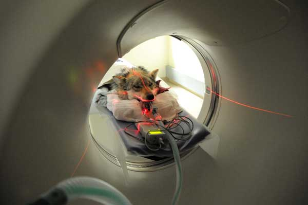 "<div class=""meta ""><span class=""caption-text "">A Mexican gray wolf getting ready to undergo a CT scan at Brookfield Zoo's Animal Hosptial. (Jim Schulz/Chicago Zoological Society)</span></div>"
