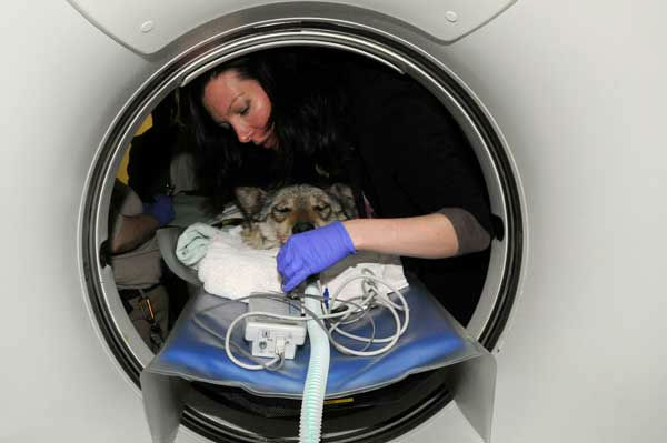 Dr. Randi Drees, clinical assistant professor in radiology at the University of Wisconsin-Madison&#39;s School of Veterinary Medicine Care and collaborating researcher for the Mexican gray wolf study, prepares one of the Mexican gray wolves for a CT scan at Brookfield Zoo&#39;s Animal Hospital. <span class=meta>(Jim Schulz&#47;Chicago Zoological Society)</span>