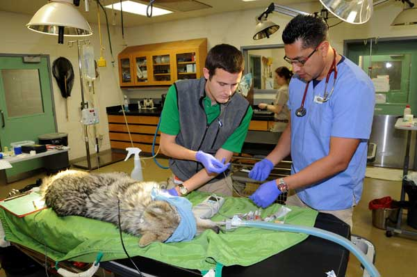 "<div class=""meta ""><span class=""caption-text "">Dr. Carlos Sanchez, an associate veterinarian for the Chicago Zoological Society (right), and Jimmy Johnson, a veterinary student training at Brookfield Zoo, performing a physical exam on one of the zoo's Mexican gray wolves. (Jim Schulz/Chicago Zoological Society)</span></div>"