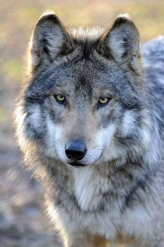 "<div class=""meta ""><span class=""caption-text "">Mexican gray wolves are part of a captive breeding program that is managed with the U.S. Fish & Wildlife Service by the Association of Zoos and Aquariums (AZA) under its Species Survival Plan (SSP) and the Mexican Technical Advisory Subcommittee for the Conservation of Mexican Wolves. Currently, there are 283 Mexican gray wolves in 52 institutions across the United States. The 2011 census recorded a minimum count of 57 individuals in the wild in New Mexico and Arizona, and in October 2011 five wolves were released for the first time in the Northern Mexican state of Sonora.  (Jim Schulz/Chicago Zoological Society)</span></div>"