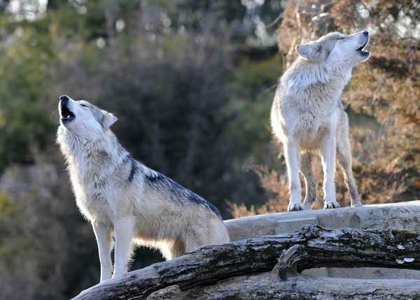 Mexican gray wolves at Brookfield Zoo are part of a study to help save the endangered species. Researchers hope to determine if a type of nasal tumor is more prevalent in wolves or domestic dogs. <span class=meta>(Jim Schulz&#47;Chicago Zoological Society)</span>