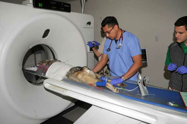 Dr. Carlos Sanchez, an associate veterinarian for the Chicago Zoological Society &#40;pictured left&#41;, prepares a Mexican gray wolf for a CT scan at Brookfield Zoo&#39;s Animal Hospital. <span class=meta>(Jim Schulz&#47;Chicago Zoological Society)</span>