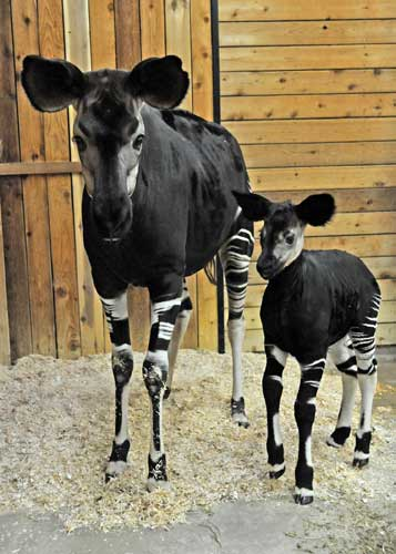 A female okapi -- also known as a &#39;&#39;forest giraffe&#39;&#39;-- was born on April 27 at Brookfield Zoo. Calf and mom, Semliki, 8, doing fine. <span class=meta>(Jim Schulz&#47;Chicago Zoological Society)</span>