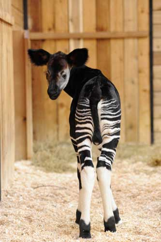 "<div class=""meta ""><span class=""caption-text "">A female okapi -- also known as a ''forest giraffe''-- was born on April 27 at Brookfield Zoo. Calf and mom, Semliki, 8, doing fine. (Jim Schulz/Chicago Zoological Society)</span></div>"