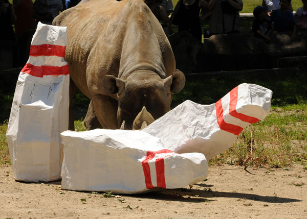 "<div class=""meta ""><span class=""caption-text "">Kabisa, a 26-year-old black rhino at the Chicago Zoological Society's Brookfield Zoo in Illinois, was presented with paper mache bowling pins to highlight the annual Bowling for Rhinos fundraiser, which will be held on June 15, 2012. (Jim Schulz/Chicago Zoological Society)</span></div>"