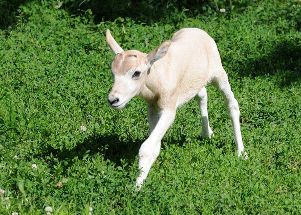 "<div class=""meta image-caption""><div class=""origin-logo origin-image ""><span></span></div><span class=""caption-text"">An endangered antelope known as an addax was born on June 7th at Brookfield Zoo, and more births are expected in the coming weeks. (Brookfield Zoo)</span></div>"