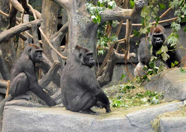 Kamba, Koola, and JoJo: Kamba, 8; Koola, 17, and JoJo western lowland gorillas at Brookfield Zoo.  <span class=meta>(Jim Schulz&#47;Chicago Zoological Society)</span>