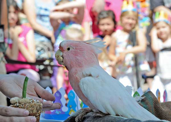 "<div class=""meta ""><span class=""caption-text "">Happy birthday to Cookie the cockatoo at Brookfield Zoo! (Brookfield Zoo)</span></div>"