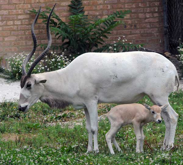 "<div class=""meta ""><span class=""caption-text "">A female addax calf born July 9 with her mom, Martha, at Brookfield Zoo. (Chicago Zoological Society/Brookfield Zoo)</span></div>"