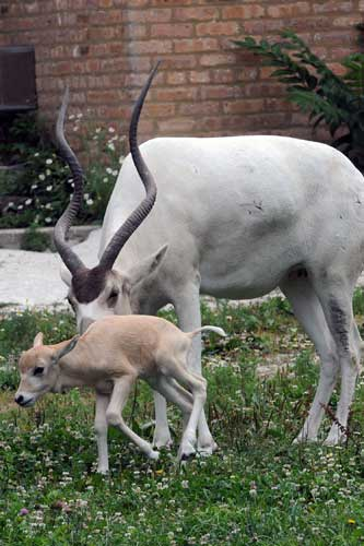 "<div class=""meta image-caption""><div class=""origin-logo origin-image ""><span></span></div><span class=""caption-text"">A female addax calf born July 9 with her mom, Martha, at Brookfield Zoo. (Chicago Zoological Society/Brookfield Zoo)</span></div>"
