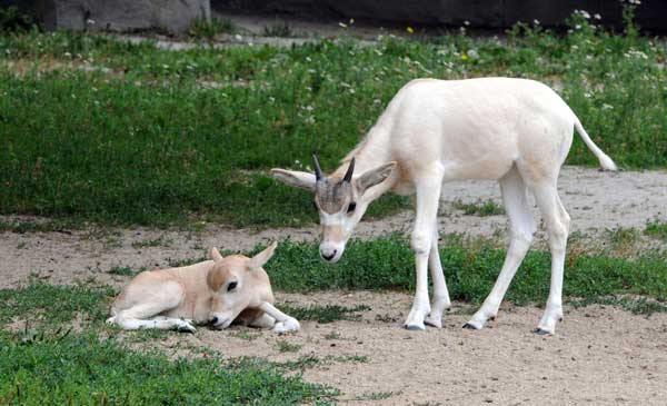 "<div class=""meta ""><span class=""caption-text "">Three addax calves were recently born at Brookfield Zoo. Pictured are two of the addax--one born July 9 and the other on June 1. (Chicago Zoological Society/Brookfield Zoo)</span></div>"