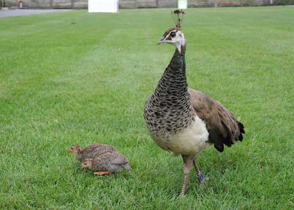 "<div class=""meta ""><span class=""caption-text "">Blue, the peahen, and her clutch of Guineafowl chicks. (Jim Schulz/Chicago Zoological Society)</span></div>"
