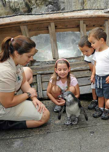On not too crowded days, guests can enjoy seeing Pepe, a 5-month-old Humboldt penguin on the walkway at Brookfield Zoo&#39;s The Living Coast exhibit. By having Pepe serve as ambassador animal, Chicago Zoological Society staff hope to make a connection with the public that will inspire guests to want to learn more about Pepe&#39;s endangered counterparts in the wild. <span class=meta>(Jim Schulz&#47;Chicago Zoological Society)</span>