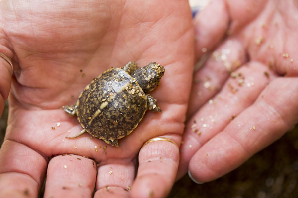 The turtles will leave the zoo next year for Lost Mound Sand Prairie in Savanna, Ill. <span class=meta>(Lincoln Park Zoo&#47;Todd Rosenberg)</span>