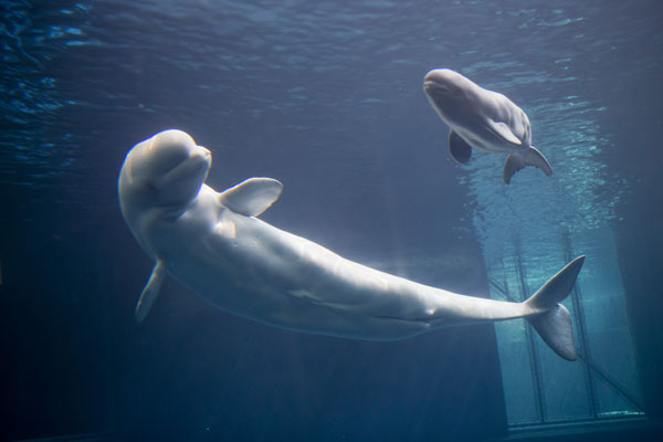 In less than 24 hours after the birth, the calf took its first breath, bonded with its mother and attempted to nurse- all important milestones, according to Shedd staff. <span class=meta>(Shedd Aquarium&#47;Brenna Hernandez.)</span>