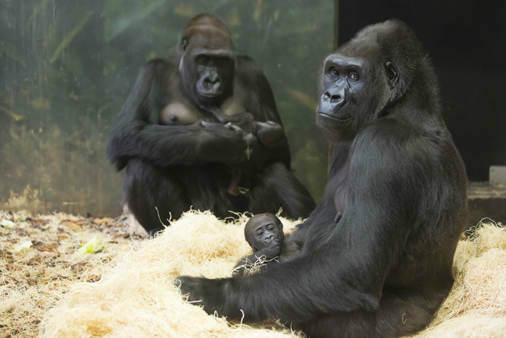 "<div class=""meta image-caption""><div class=""origin-logo origin-image ""><span></span></div><span class=""caption-text"">Rollie and her baby are doing well, officials say. They will be viewable starting November 20 at the zoo's Regenstein Center for African Apes. (Lincoln Park Zoo/ Todd Rosenberg Photography)</span></div>"