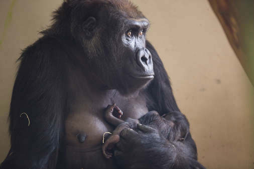 The last time the Lincoln Park Zoo had two baby gorillas at the same time was in 2004. <span class=meta>(Lincoln Park Zoo&#47; Todd Rosenberg Photography)</span>