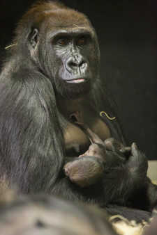 "<div class=""meta ""><span class=""caption-text "">The baby, born November 16,  is the second western lowland gorilla born this fall. (Lincoln Park Zoo/ Todd Rosenberg Photography)</span></div>"