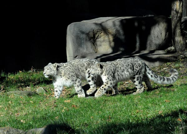 Brookfield Zoo is debuting its new snow leopards. In mid-October, the female and male juveniles arrived at Brookfield Zoo from different zoos accredited by the Association of Zoos and Aquariums. Sarani, a 1-year-old female, is from Tautphaus Park Zoo in Idaho Falls, Idaho. Her new mate, Sabu, is a 1 1/2-year-old from Cape May County Park Zoo in New Jersey. Following a 30-day routine quarantine at the zoo's Animal Hospital, the medium-size cats were introduced to their new home at Brookfield Zoo.