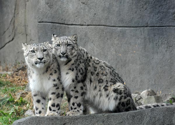 "<div class=""meta image-caption""><div class=""origin-logo origin-image ""><span></span></div><span class=""caption-text"">Brookfield Zoo is debuting its new snow leopards. In mid-October, the female and male juveniles arrived at Brookfield Zoo from different zoos accredited by the Association of Zoos and Aquariums. Sarani, a 1-year-old female, is from Tautphaus Park Zoo in Idaho Falls, Idaho. Her new mate, Sabu, is a 1 1/2-year-old from Cape May County Park Zoo in New Jersey. Following a 30-day routine quarantine at the zoo's Animal Hospital, the medium-size cats were introduced to their new home at Brookfield Zoo.</span></div>"