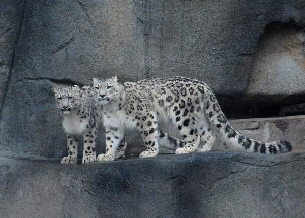 "<div class=""meta ""><span class=""caption-text "">Brookfield Zoo is debuting its new snow leopards. In mid-October, the female and male juveniles arrived at Brookfield Zoo from different zoos accredited by the Association of Zoos and Aquariums. Sarani, a 1-year-old female, is from Tautphaus Park Zoo in Idaho Falls, Idaho. Her new mate, Sabu, is a 1 1/2-year-old from Cape May County Park Zoo in New Jersey. Following a 30-day routine quarantine at the zoo's Animal Hospital, the medium-size cats were introduced to their new home at Brookfield Zoo.</span></div>"